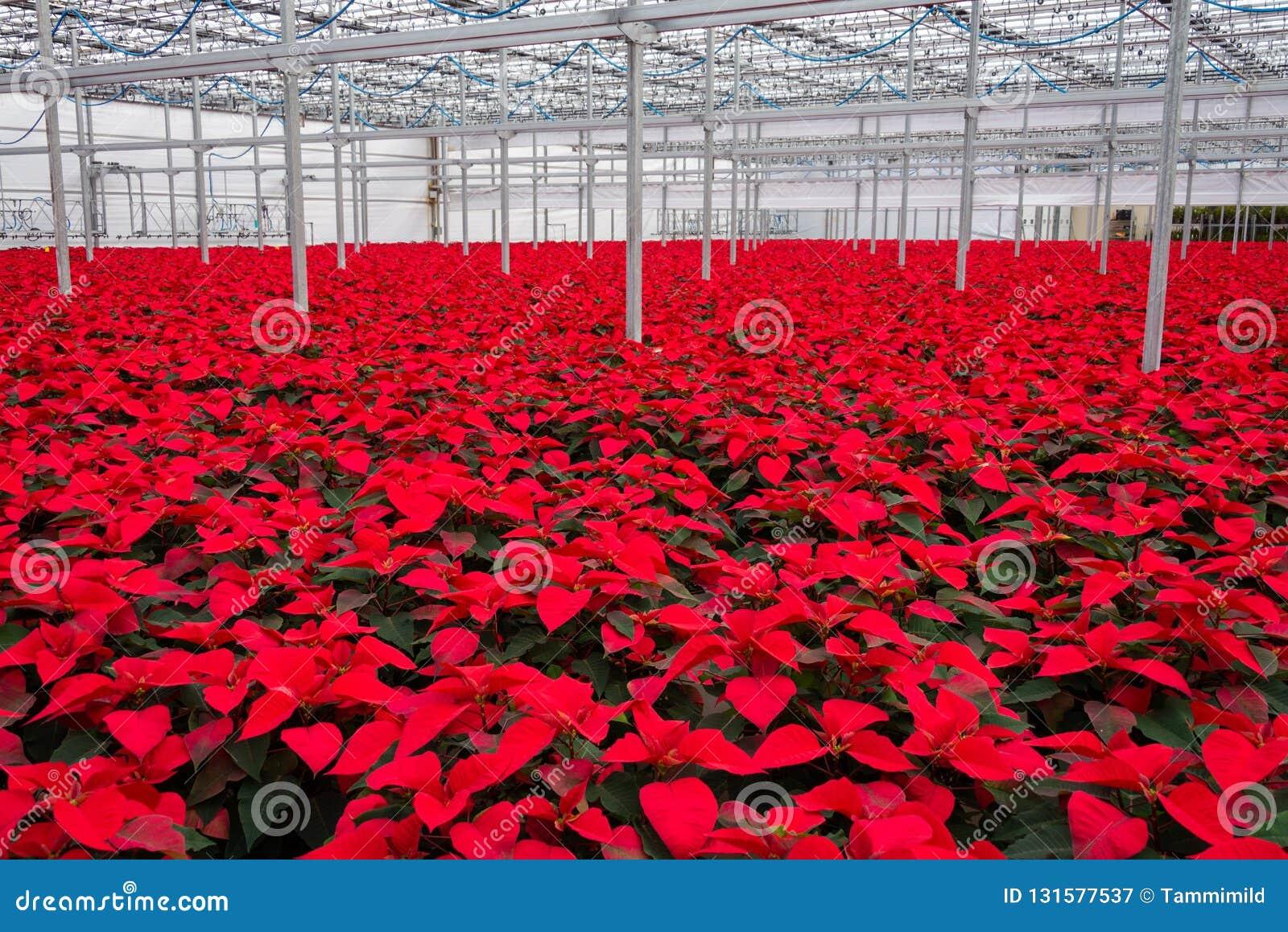 室内大温室一品红花