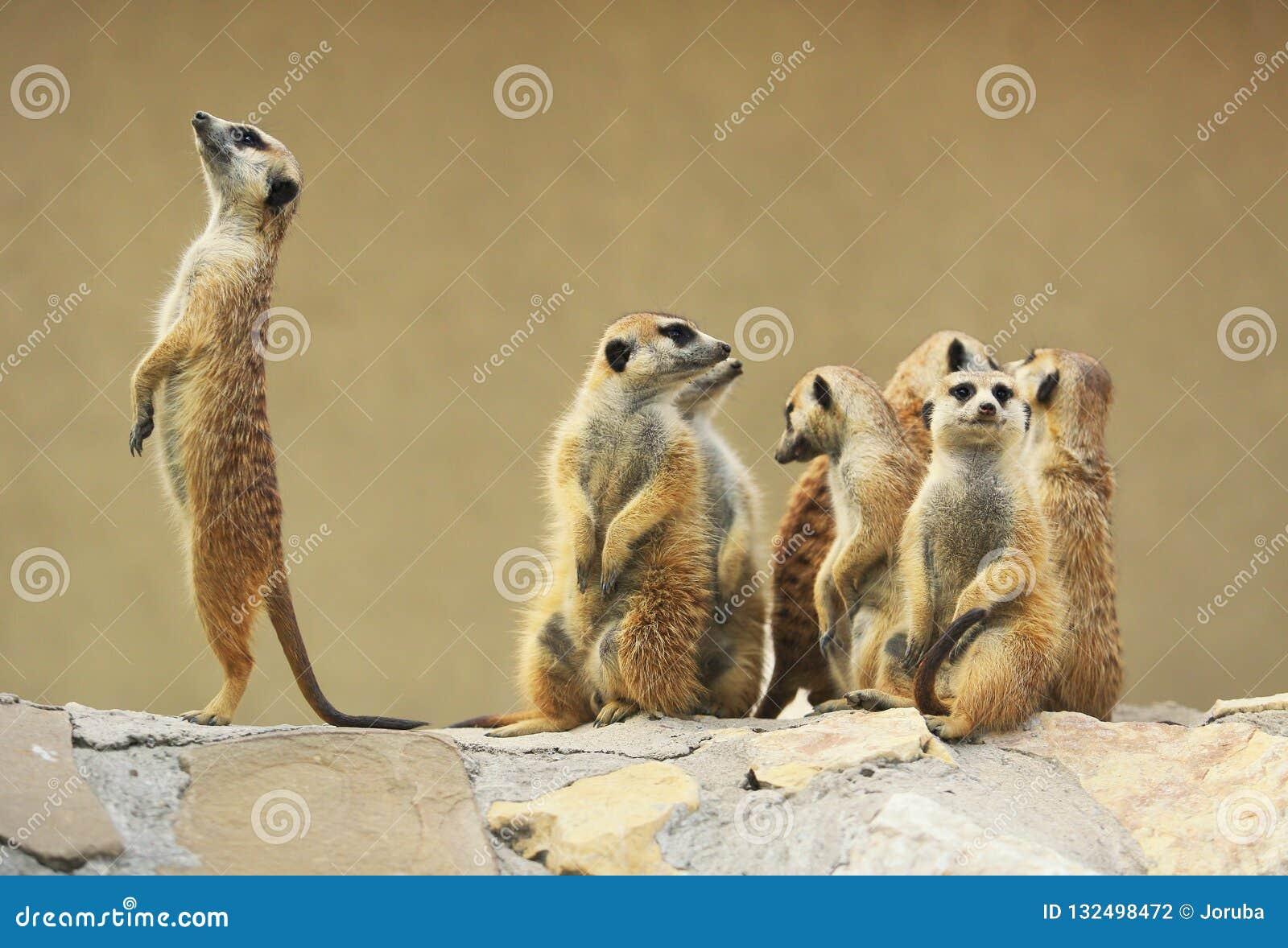 室外小组观看的surricatas