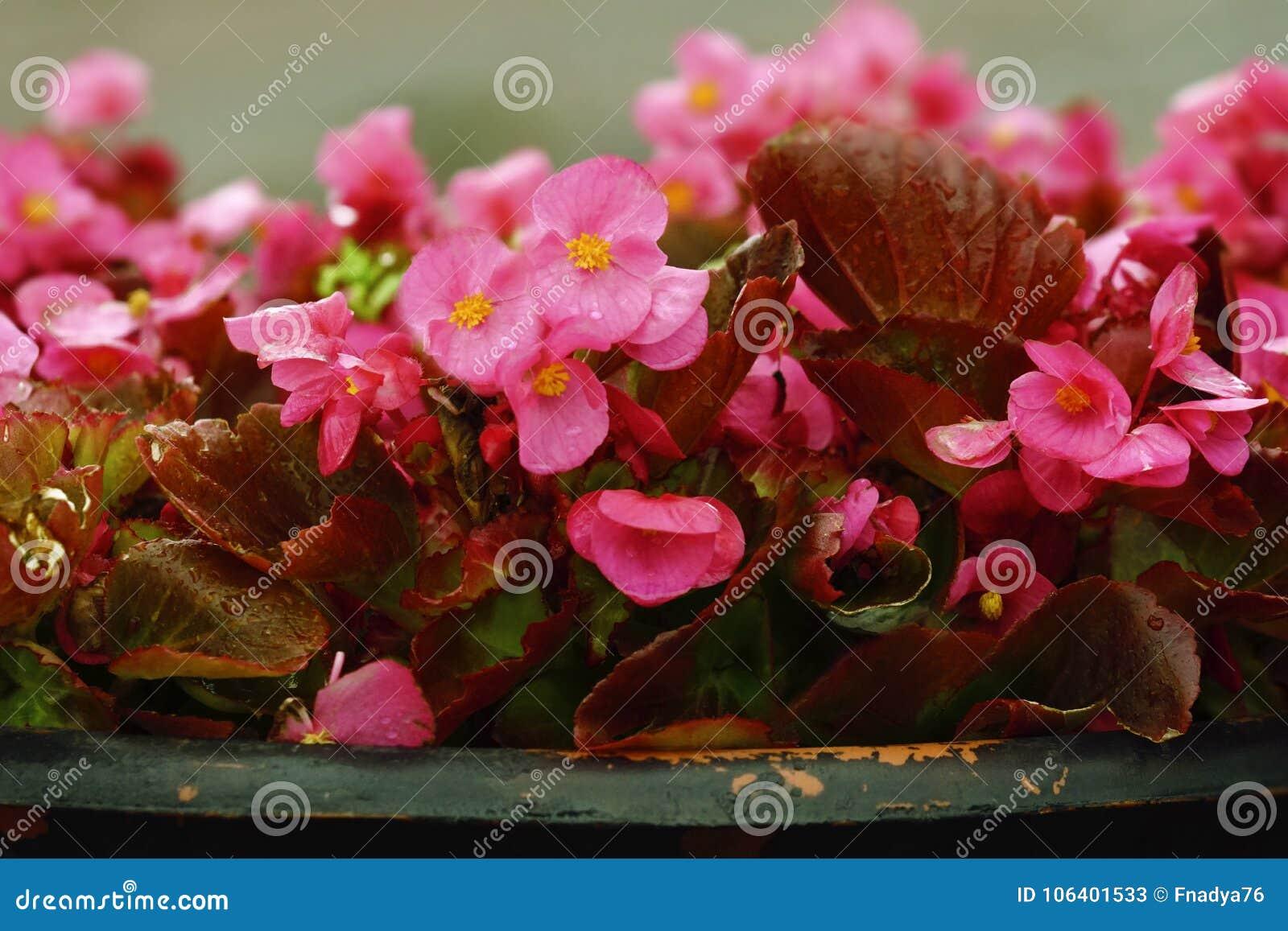 室外桃红色背景开花秋海棠 特写镜头 街道在雨以后开花秋海棠