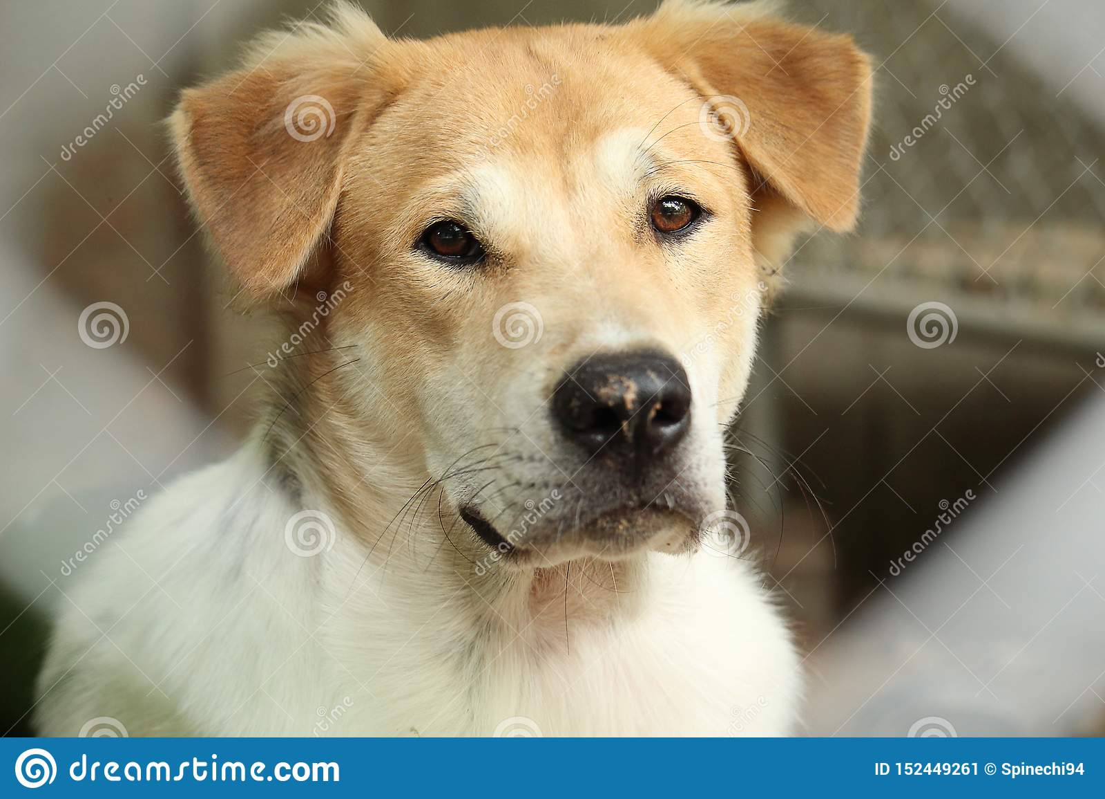 室外美丽的幼小泰国的狗的接近的顶头口鼻部