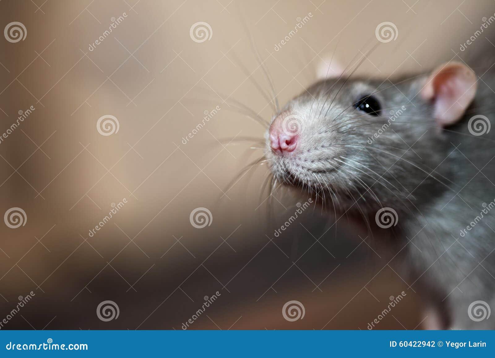 家养的鼠画象