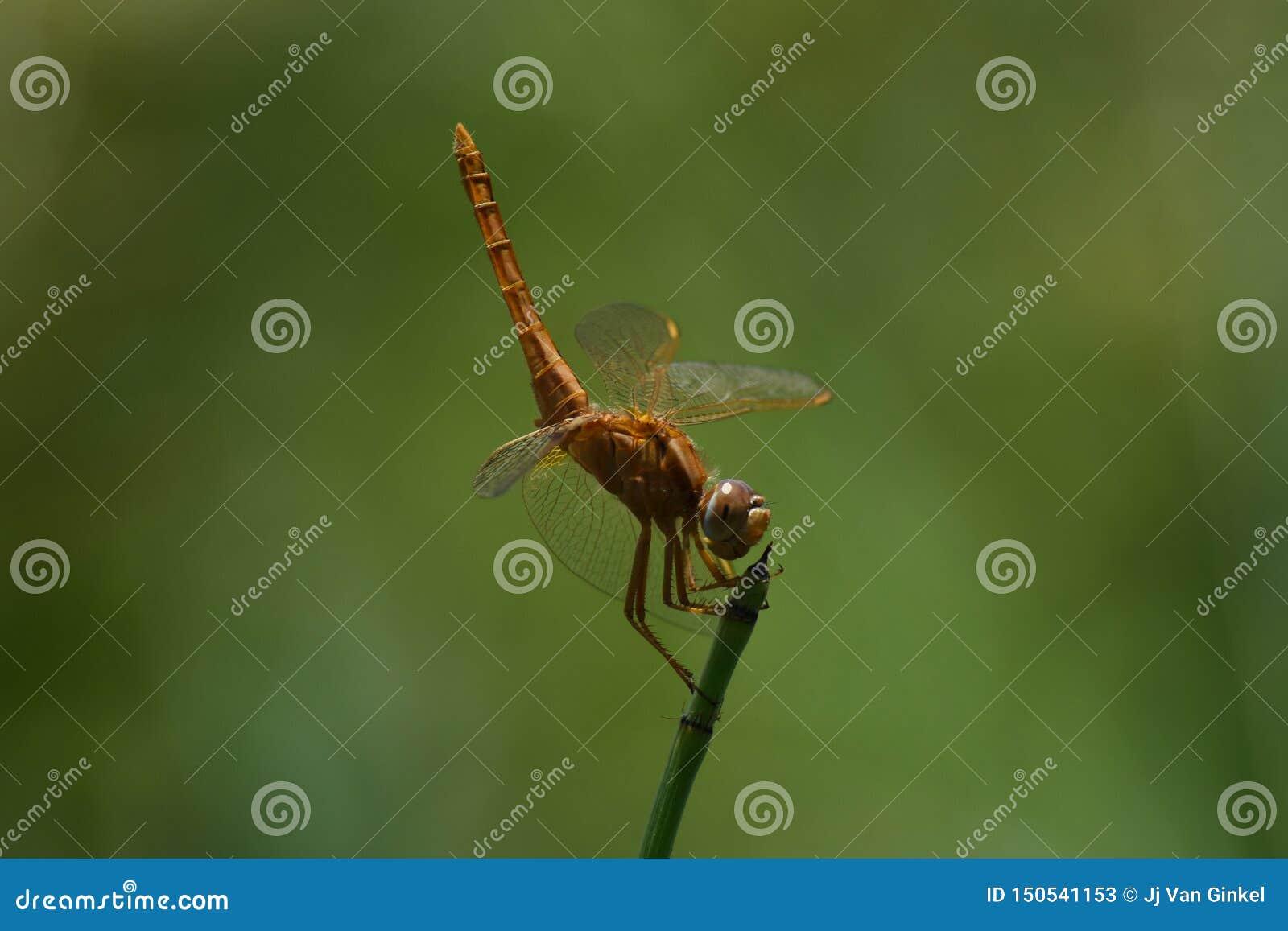 宽广的猩红色蜻蜓Crocothemis erythraea栖息看的尾巴