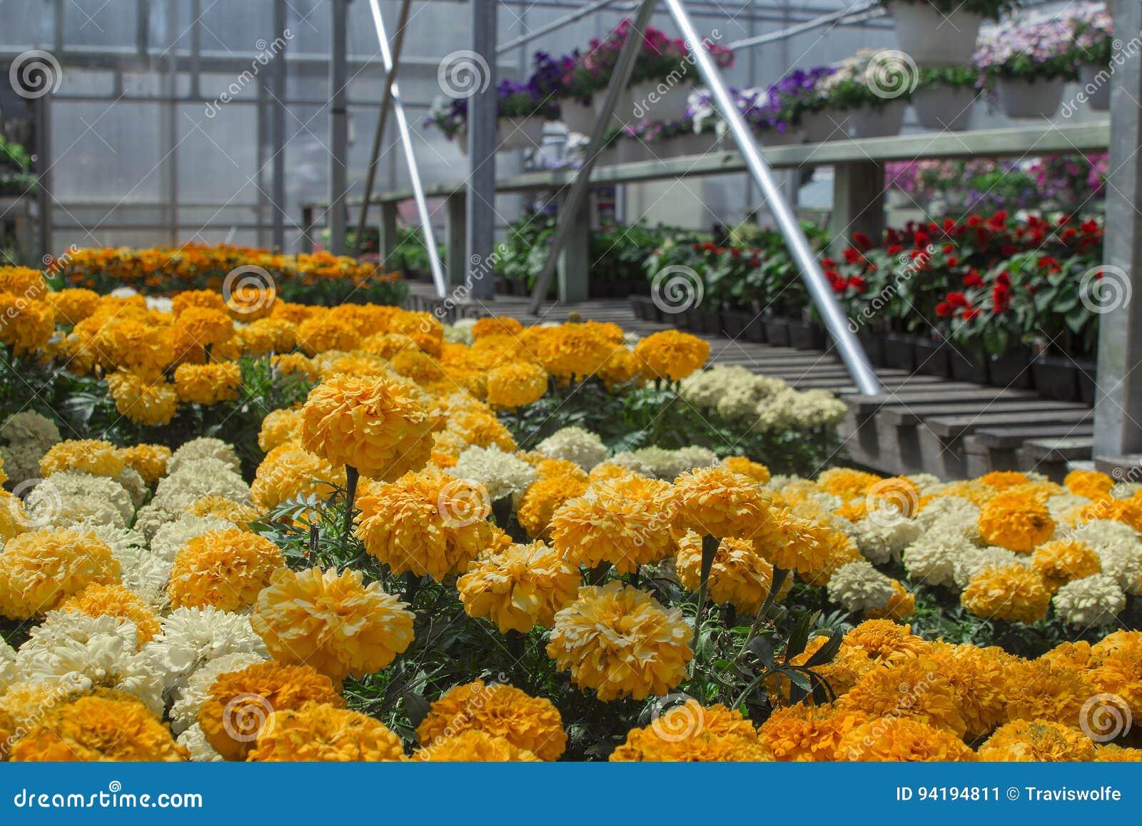 密执安季节性夏天种植的温室万寿菊 新春天舱内甲板和机架开花与copyspace