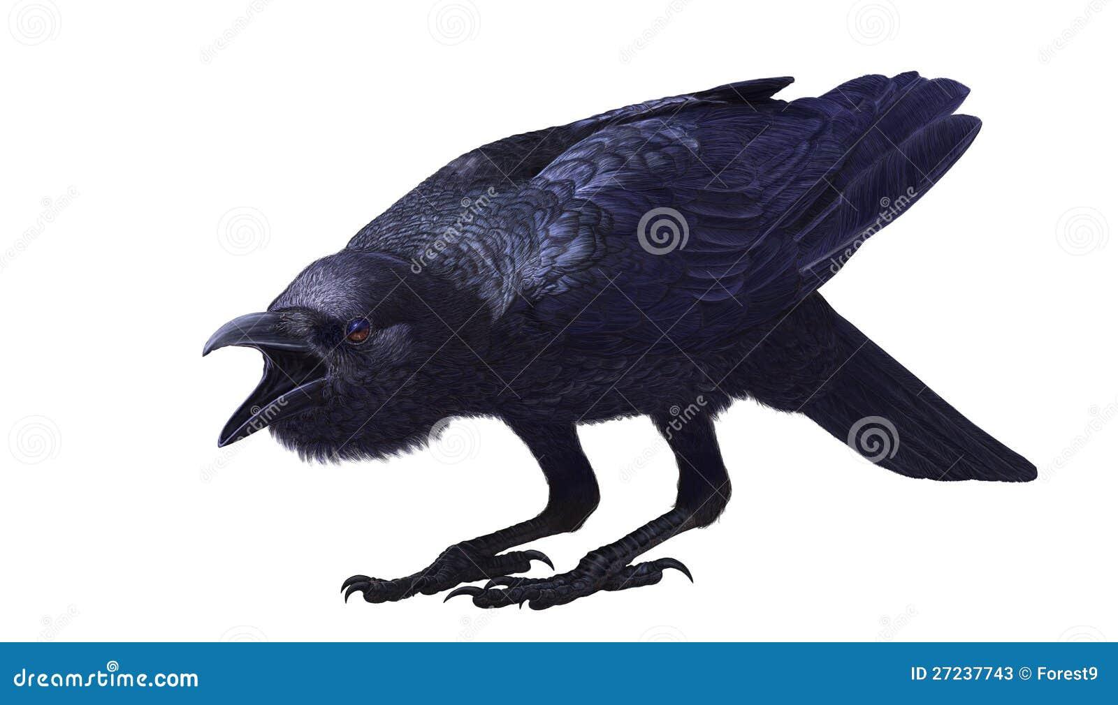 密林乌鸦,乌鸦座macrorhynchos,侧视图