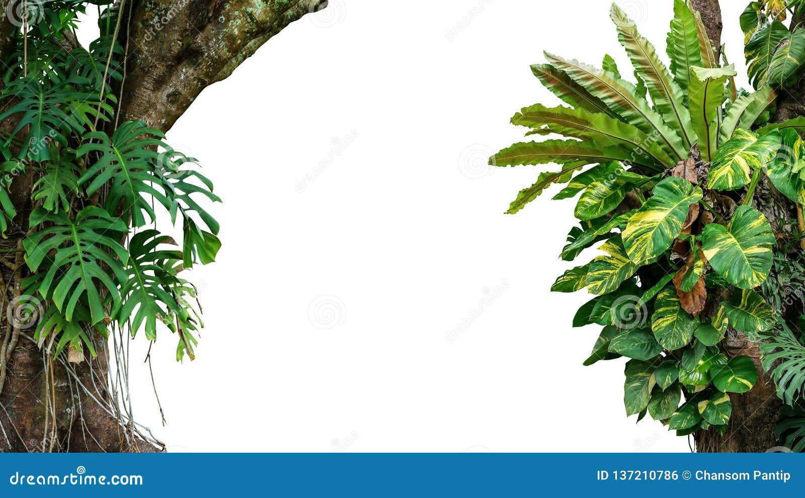 密林树自然框架与攀登Monstera,bird's巢蕨,金黄pothos的热带雨林叶子植物的和