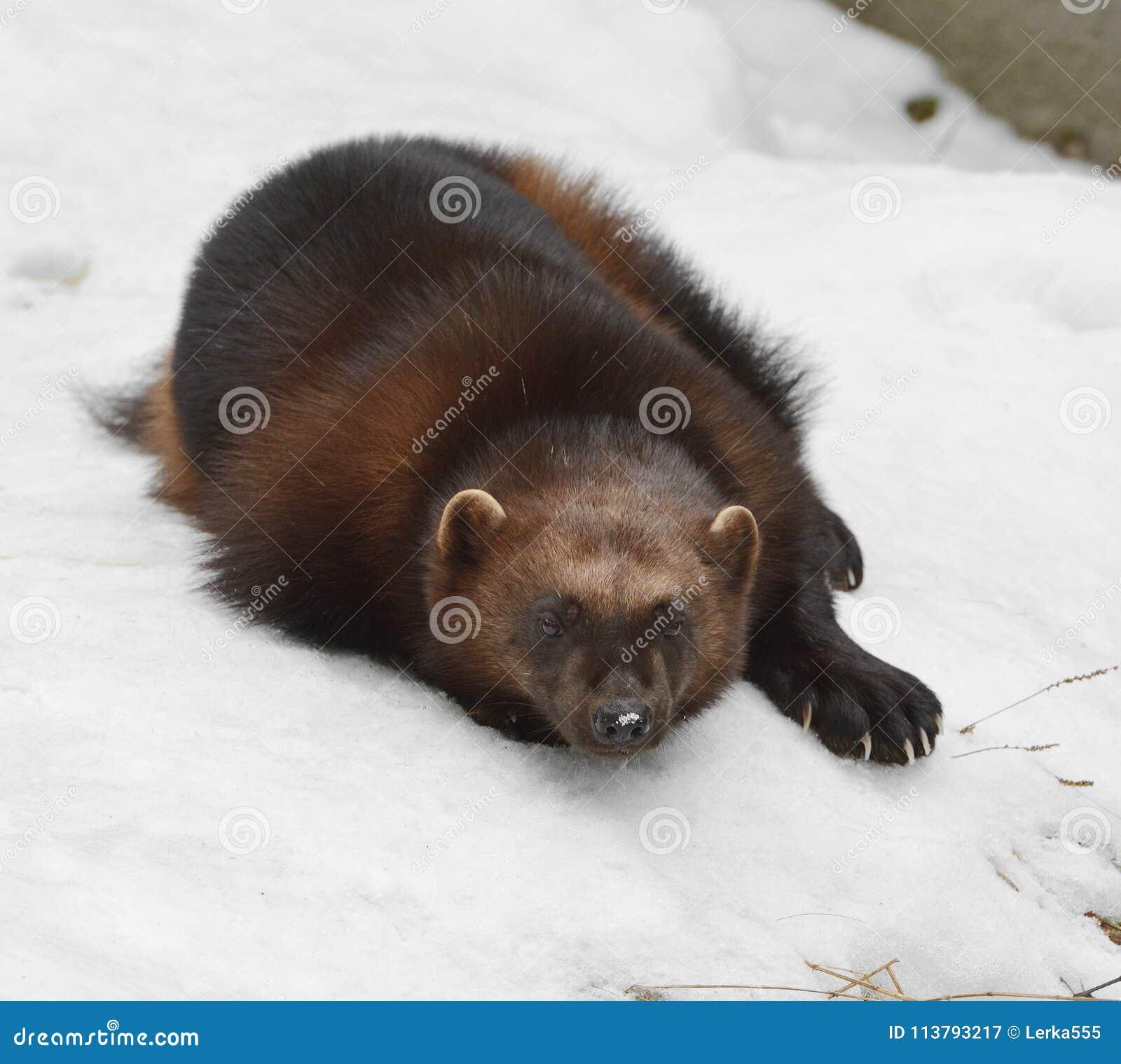 密歇根本地人,狼獾属狼獾属狼獾属为`暴食者`是拉丁语,也指暴食者, carcajou,臭鼬熊
