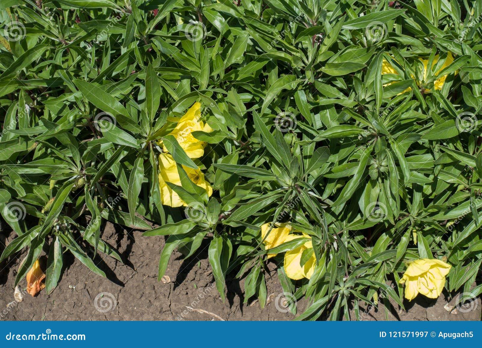 密苏里晚樱草大宽杯形的淡黄色花