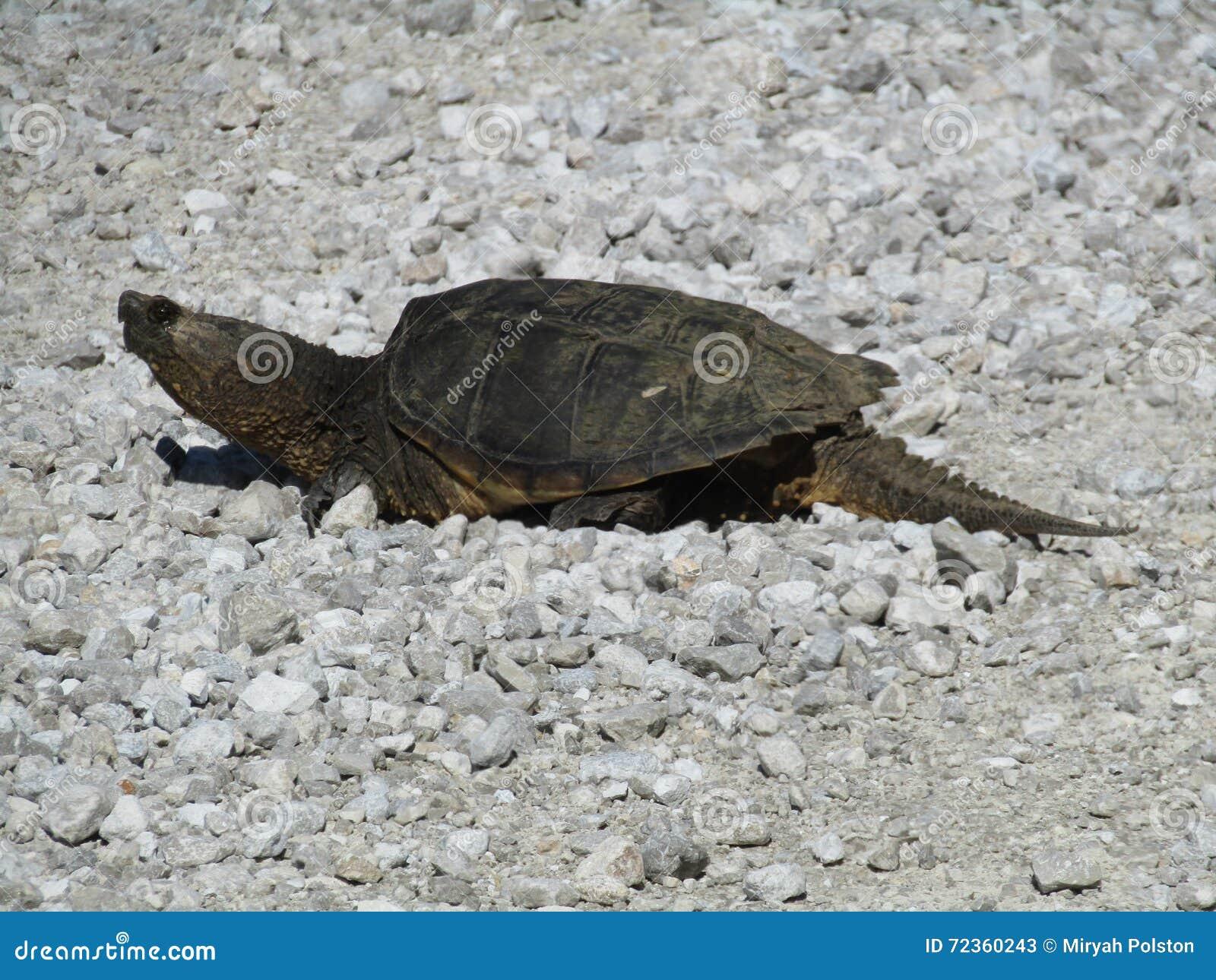 密苏里鳄龟
