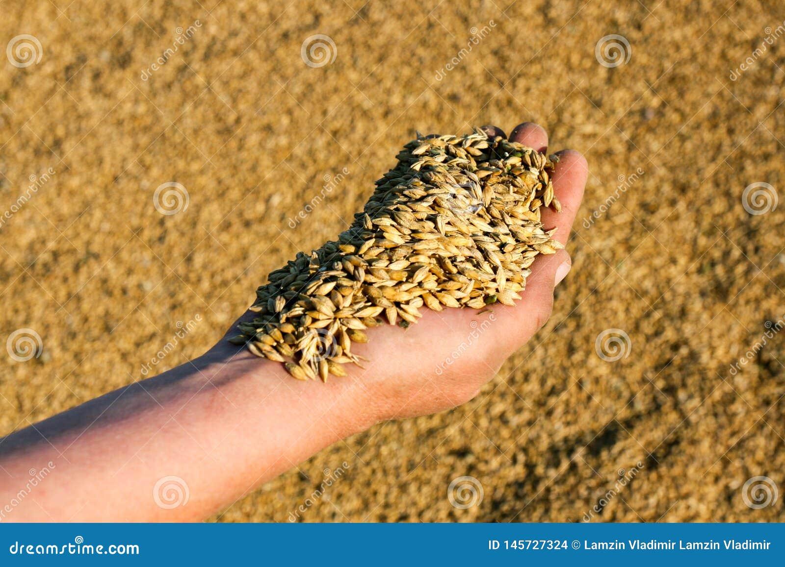 富有的麦子收获在8月