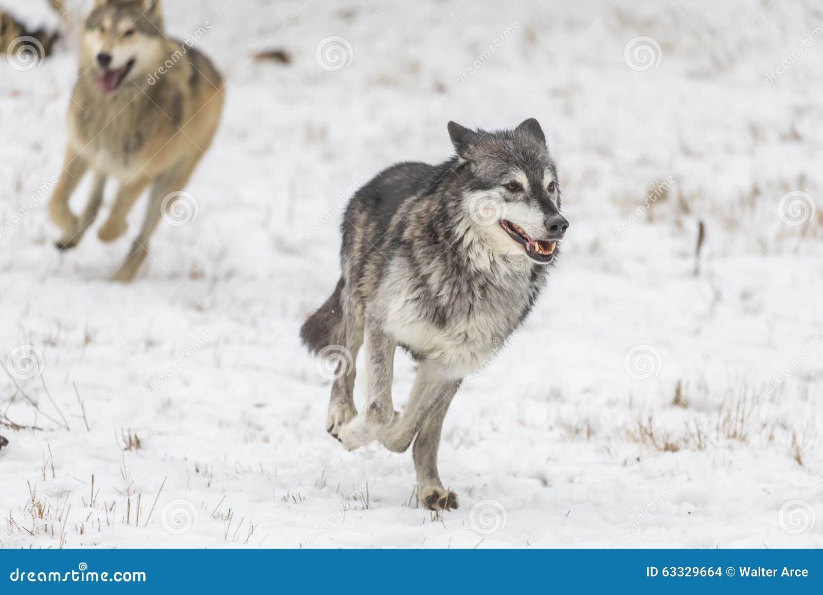 寒带草原狼