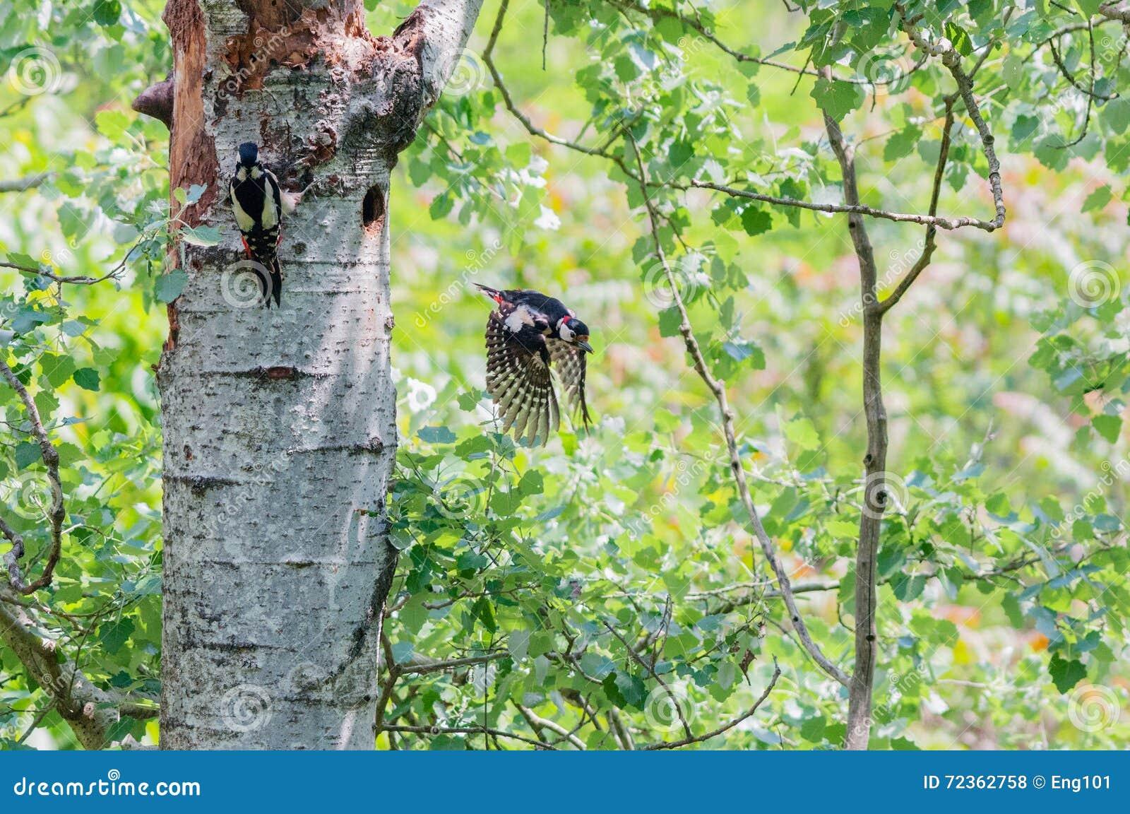 对与男性飞行的伟大的被察觉的啄木鸟巢