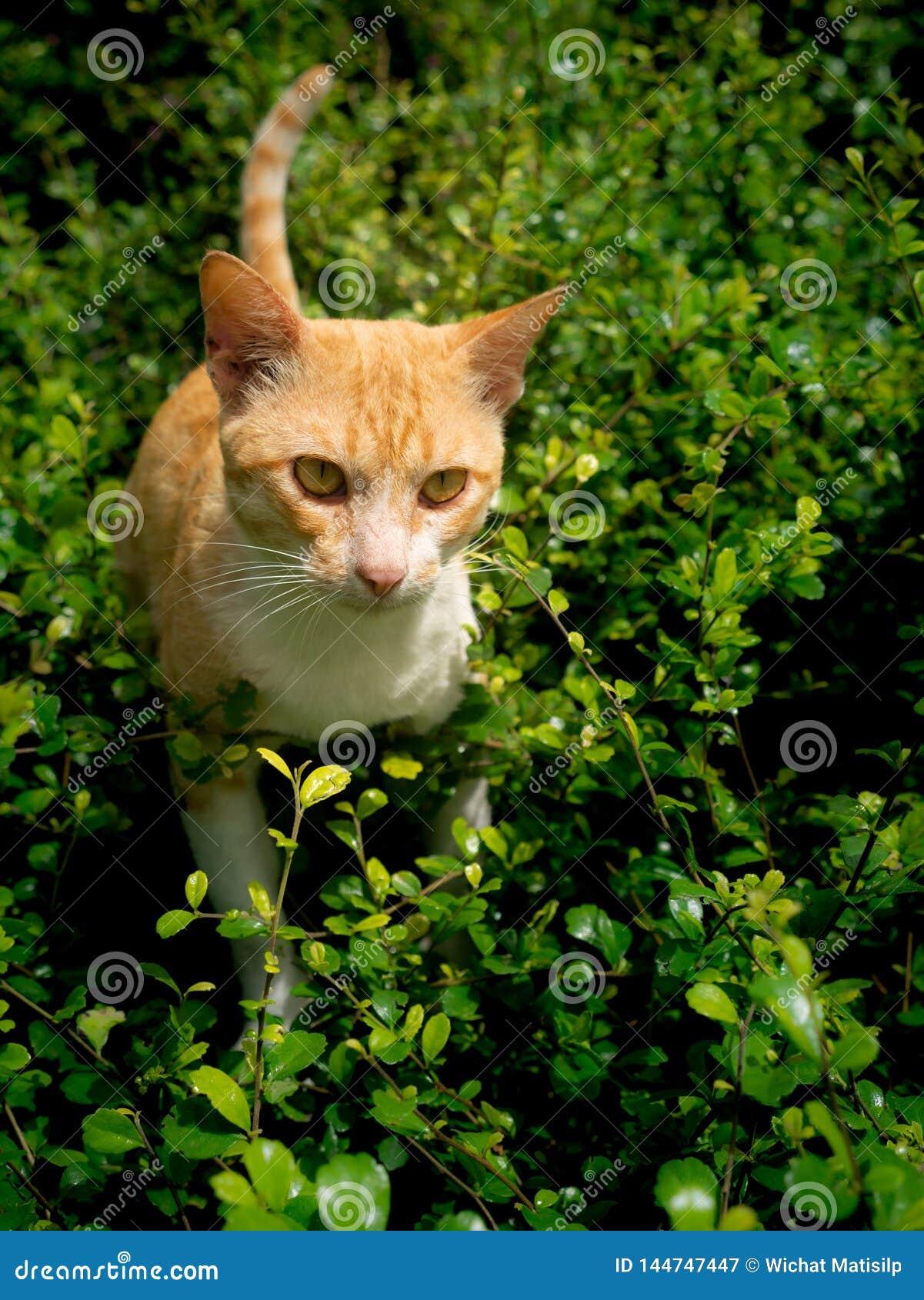 对受害者狩猎的黄色镶边白色猫谨慎行事