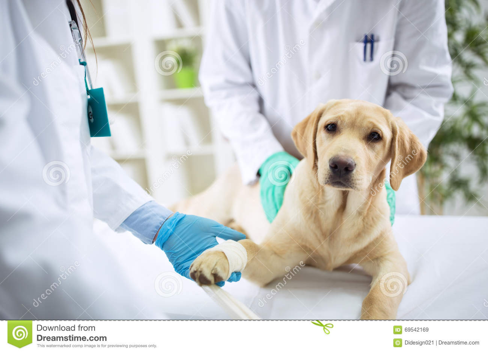 对待在手术的兽医狗