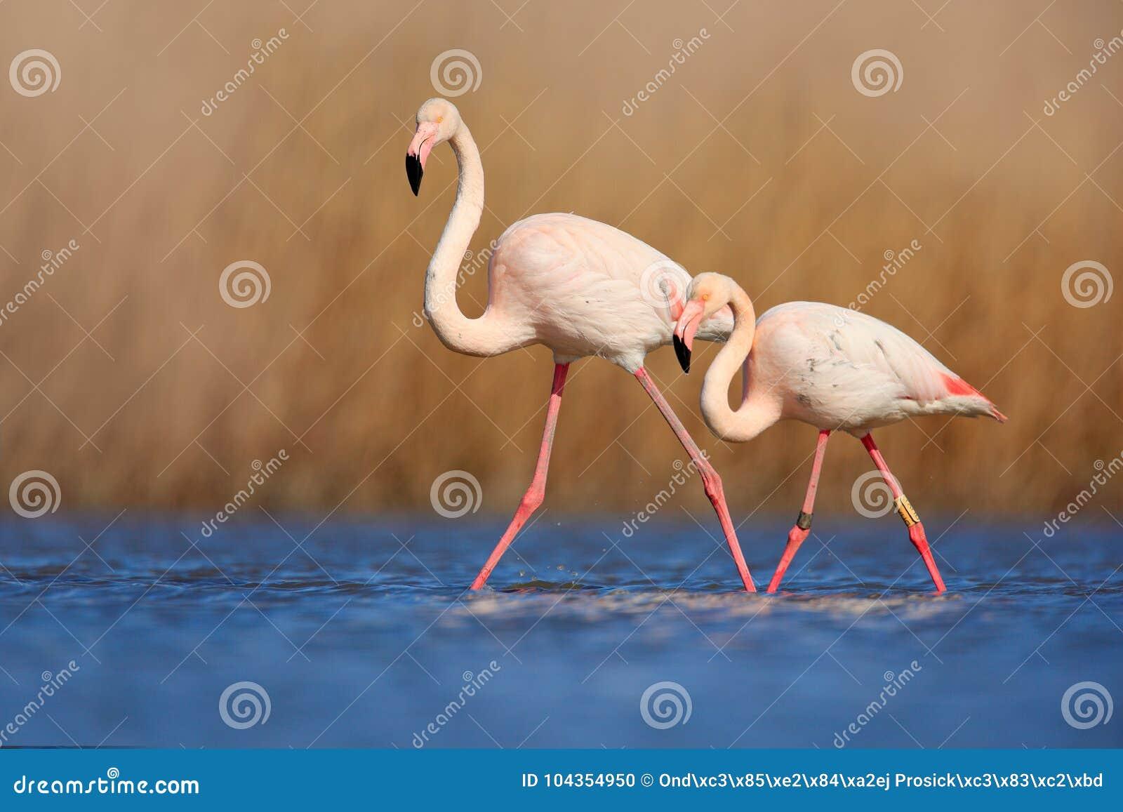 对火鸟 在大海的鸟爱 两动物,走在湖 桃红色大鸟更加伟大的火鸟, Phoenicopterus ruber,