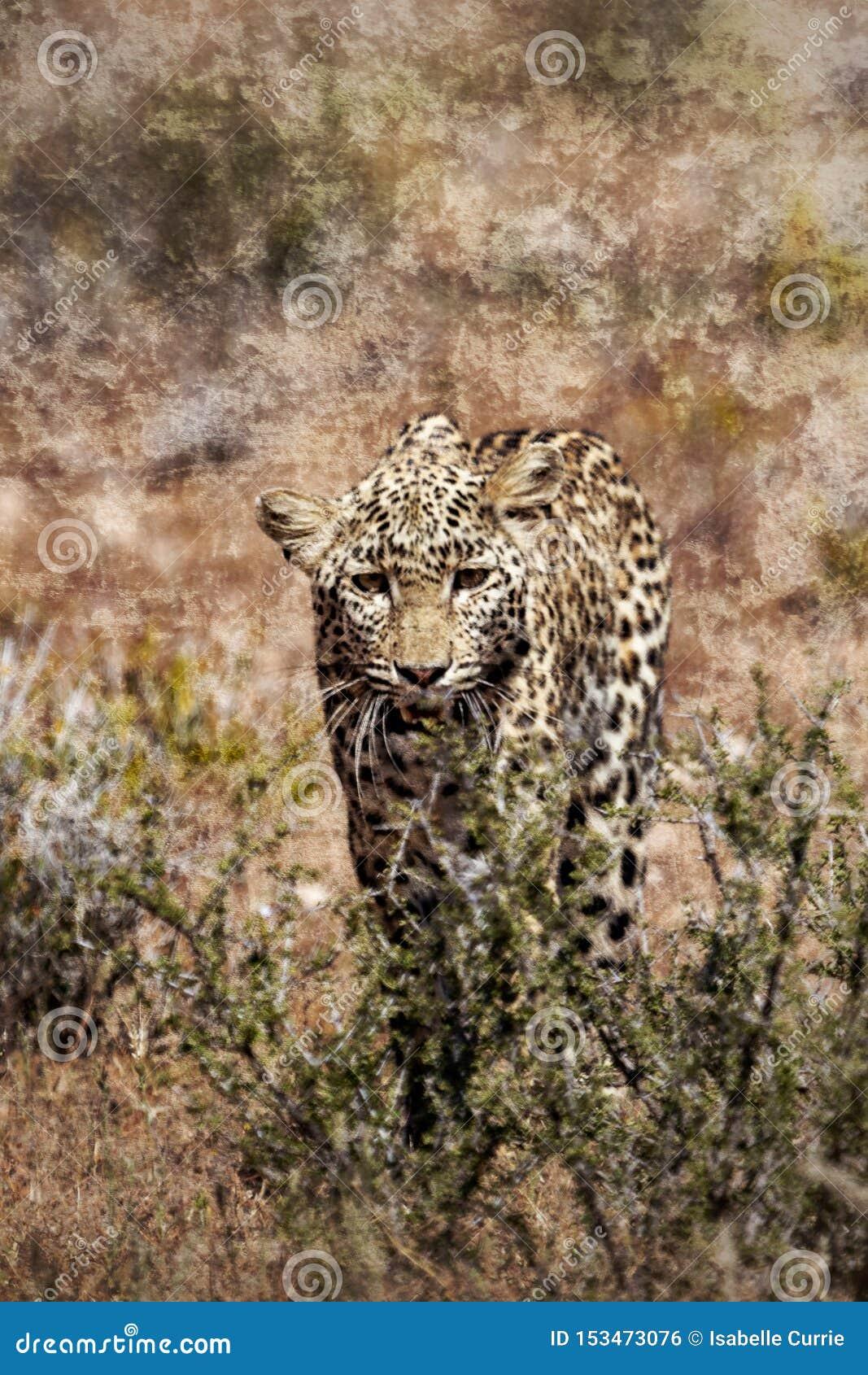 寻找偷偷靠近通过草的豹子