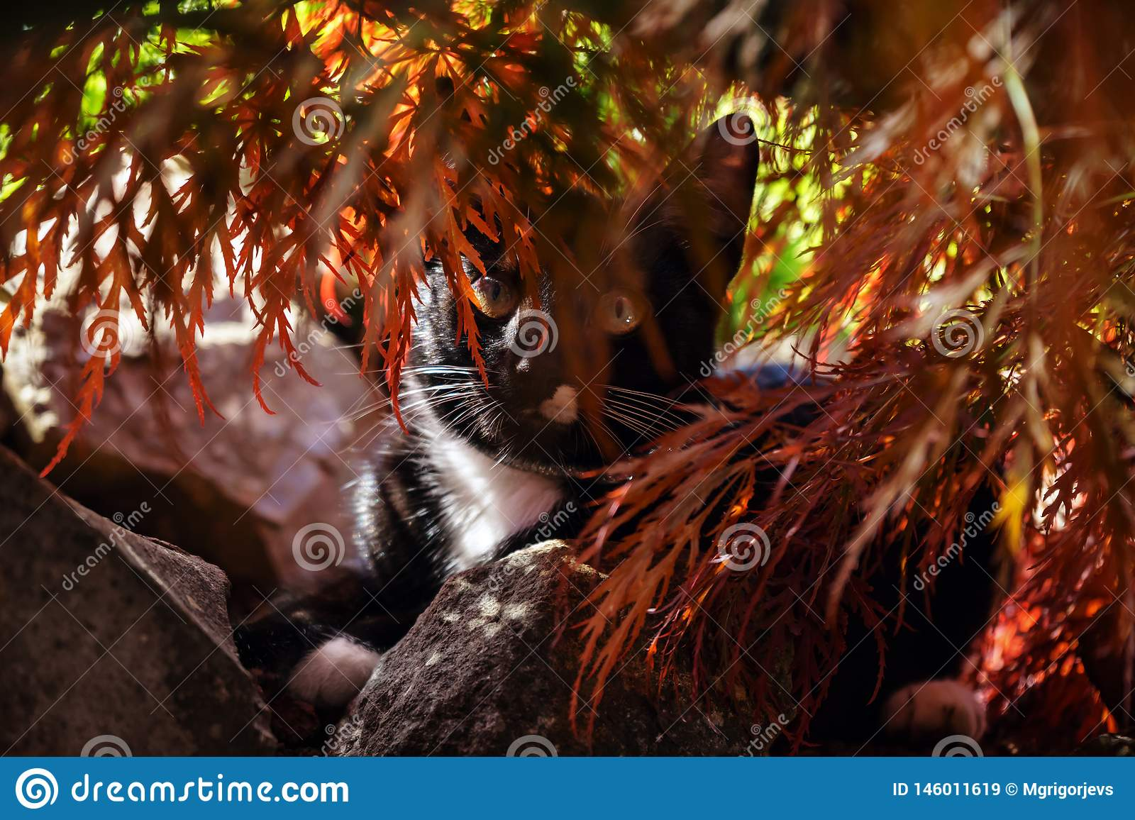 寻找在枫树树下的黑白色猫在庭院里