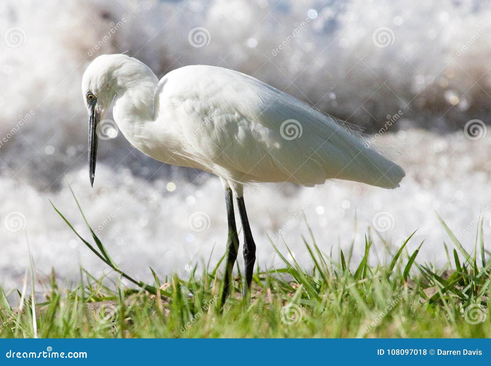 寻找在湖岸的小白鹭食物