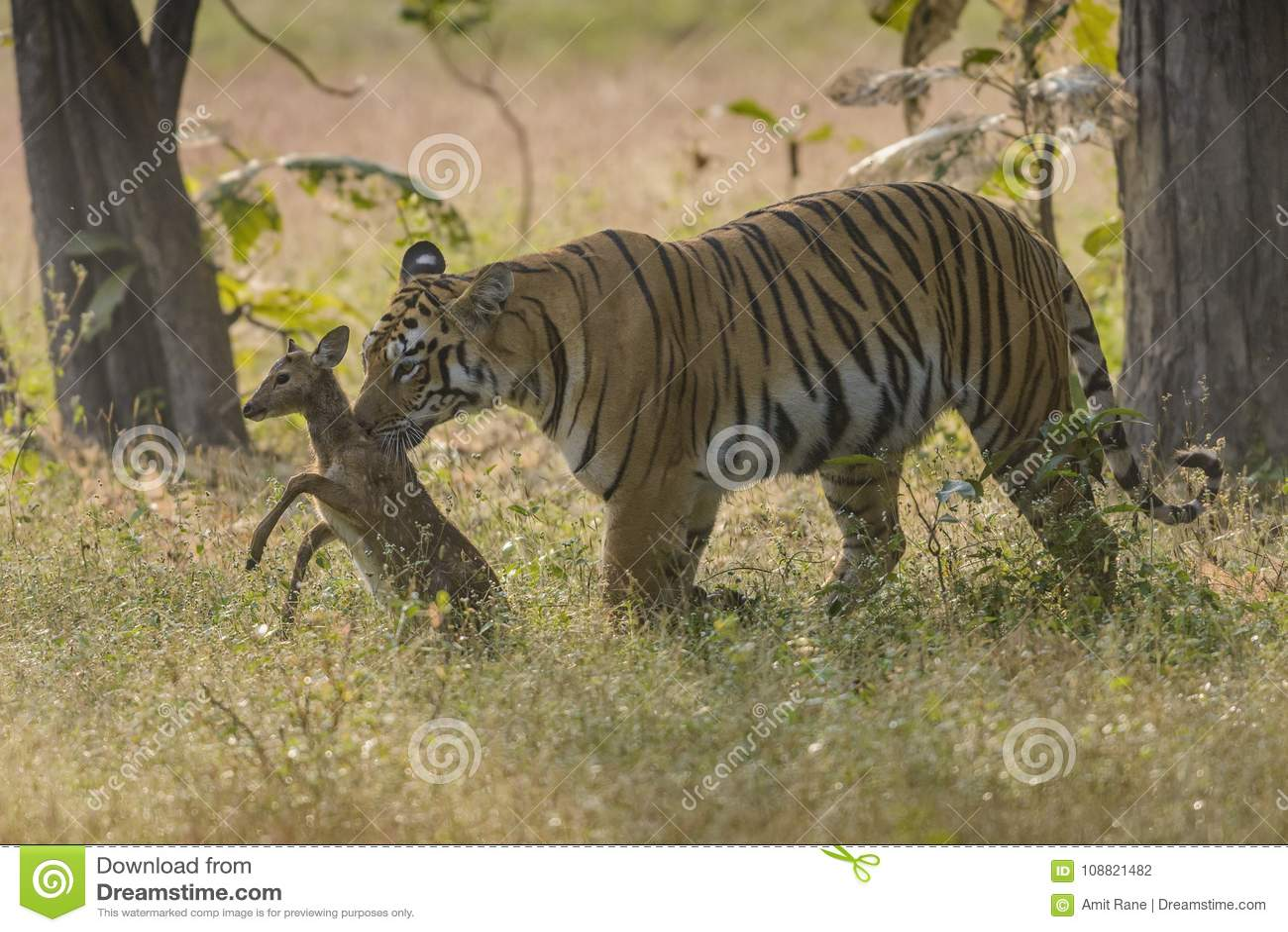 寻找被察觉的鹿小鹿的老虎