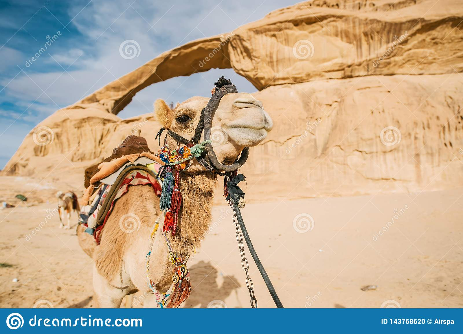 射击与睡觉的流浪者的一头骆驼一个小丘的在沙漠在约旦