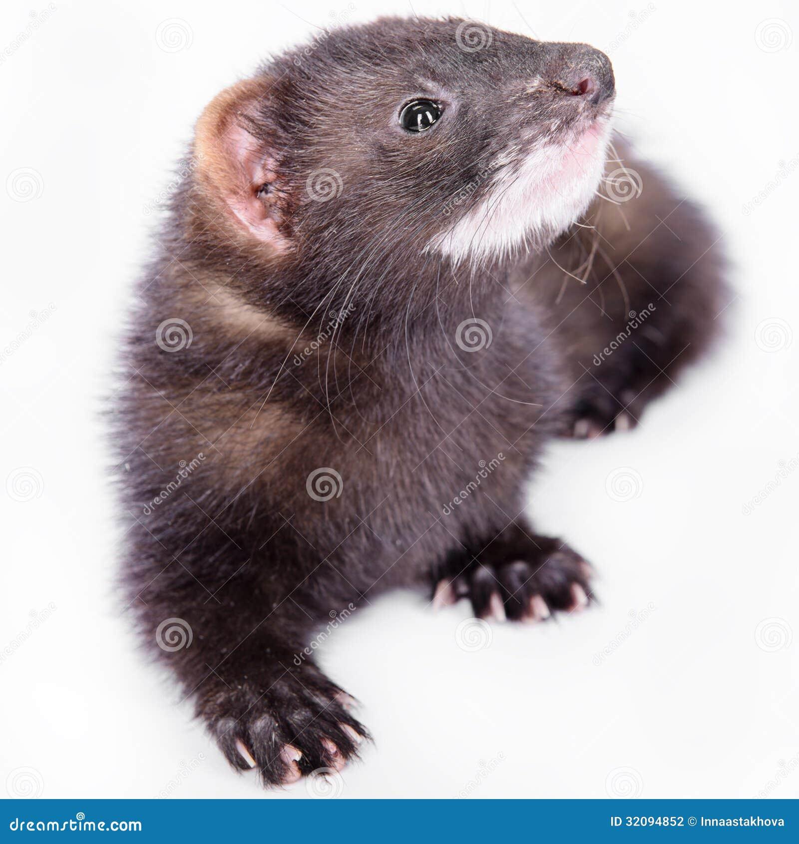 小啮齿目动物白鼬