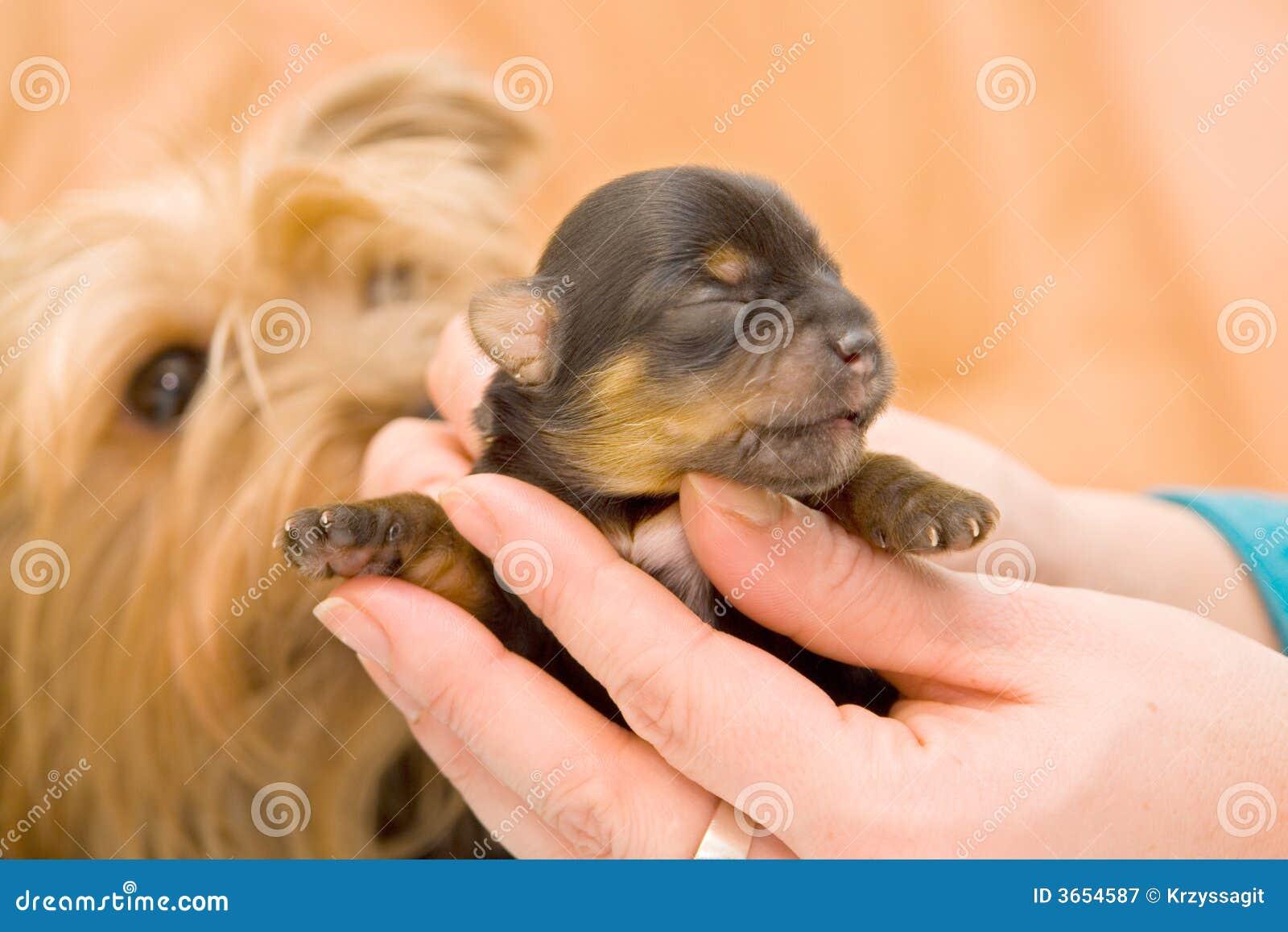 小小狗狗约克夏