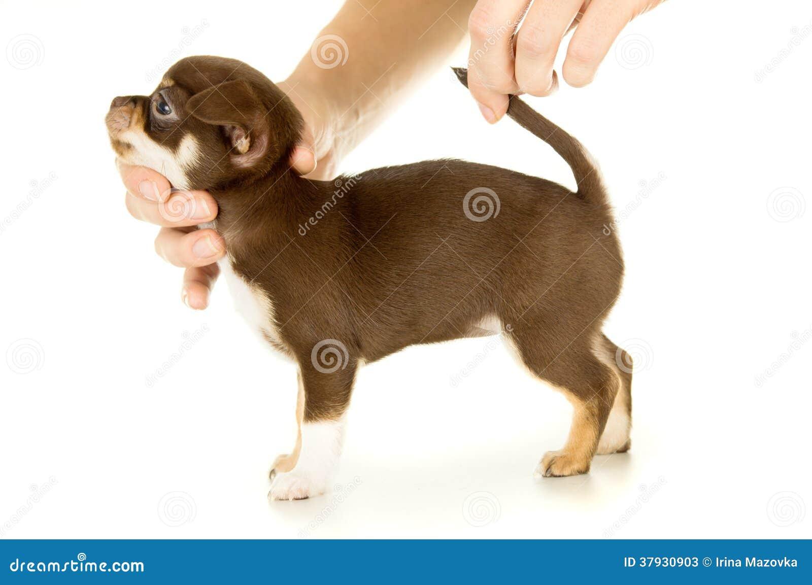 小棕色小狗奇瓦瓦狗