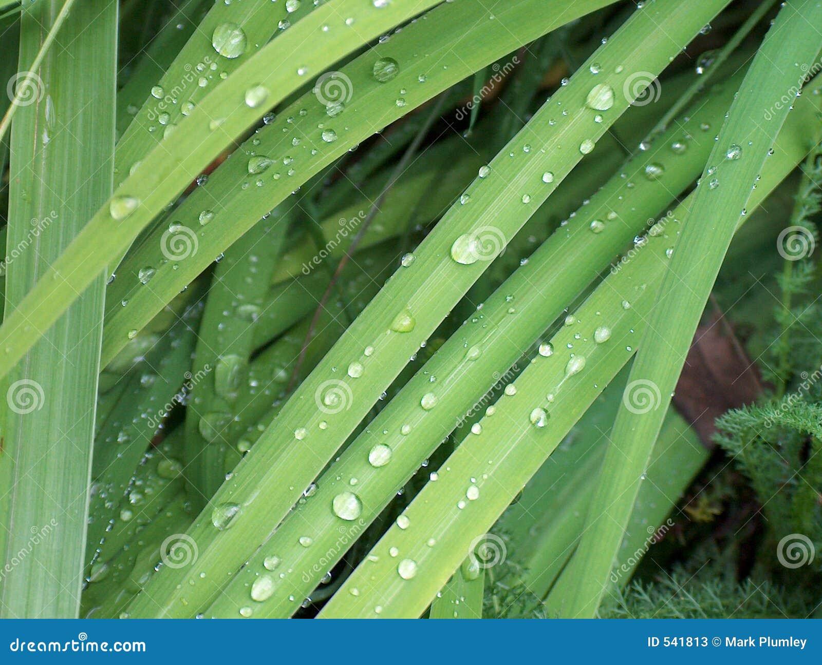 Download 小滴草水 库存图片. 图片 包括有 本质, 绿色, 下落, 植物群, 许多, 新鲜, 多雨, 玻色子, 工厂 - 541813