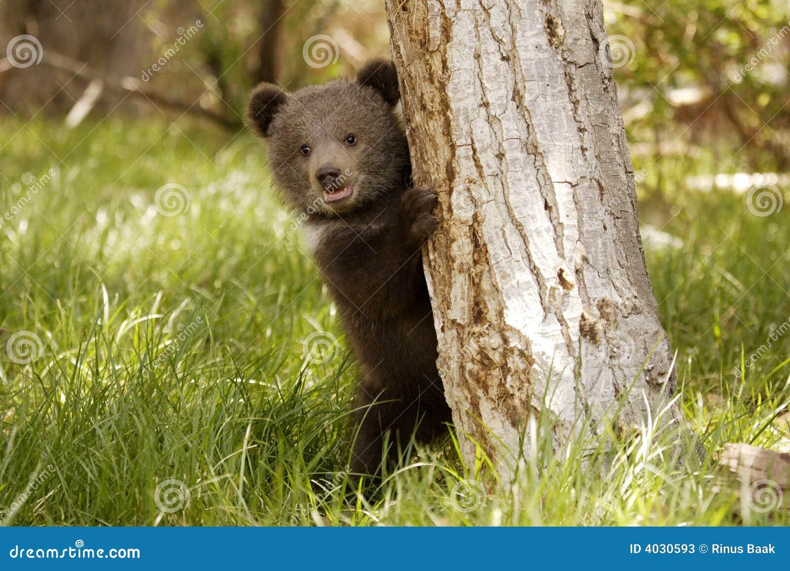 小熊北美灰熊