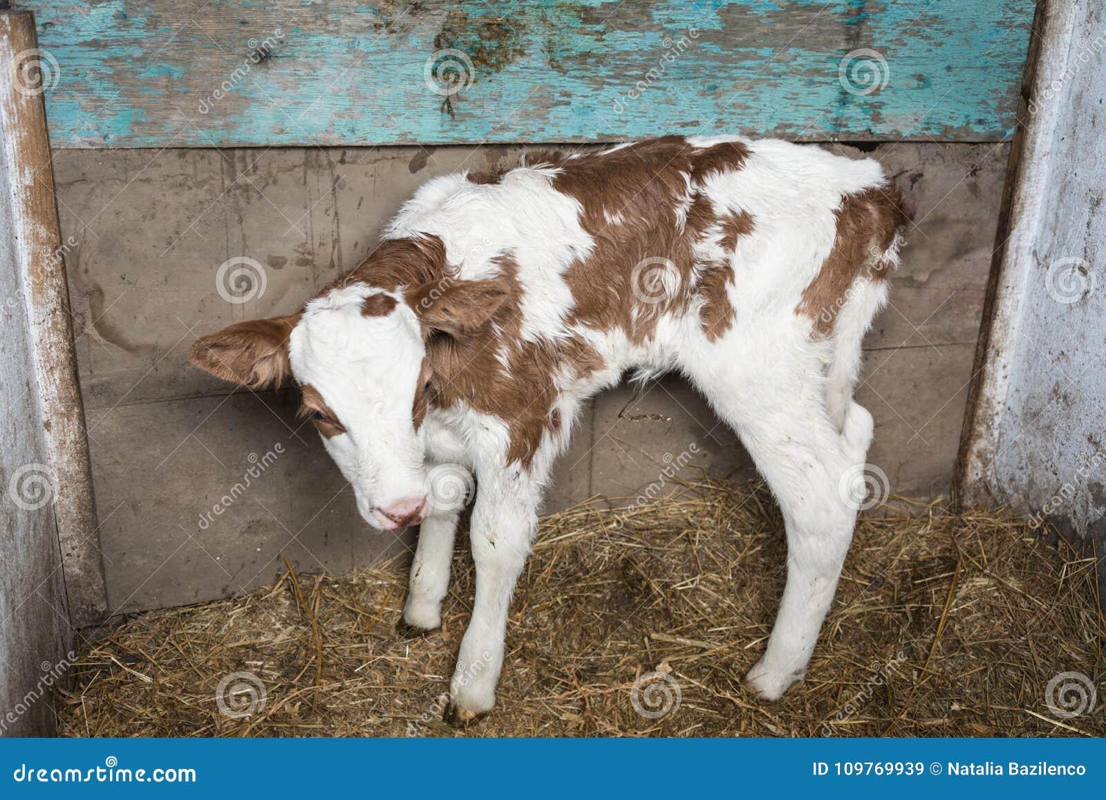 小牛在笔,从诞生的两天