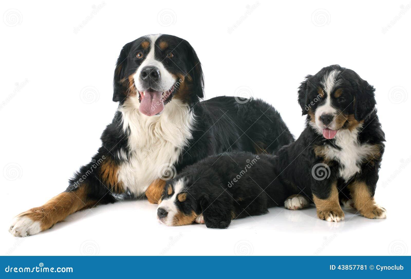 小狗和成人bernese moutain狗