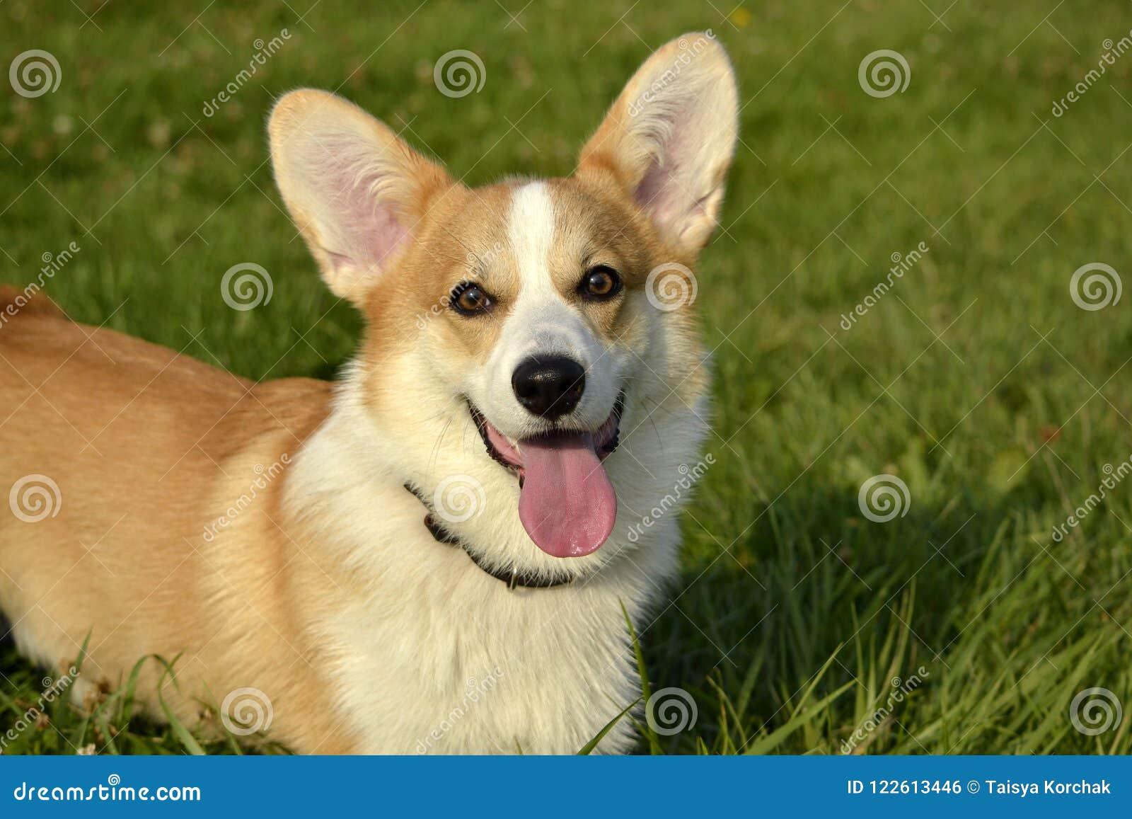 小狗小狗 在步行的幼小精力充沛的狗 小狗教育, cynology,幼小狗密集的训练  尾随本质走