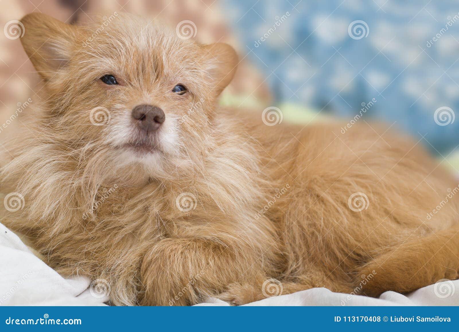 小狗灰棕色 狗在长沙发说谎 特写镜头狗的画象