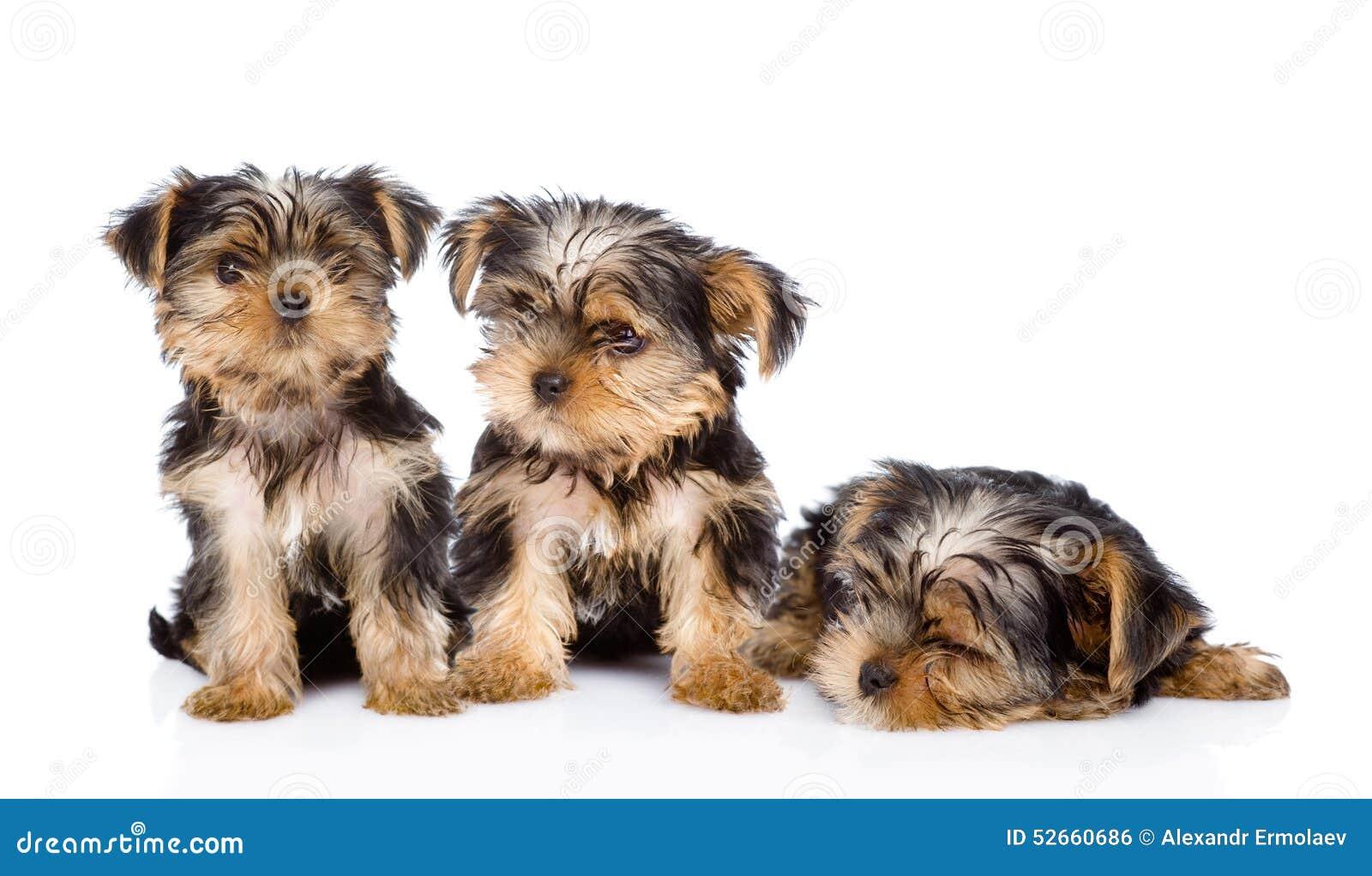 小狗狗三约克夏 在空白背景
