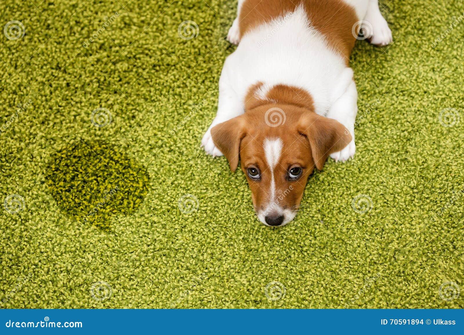 女人和狗配动态囹�a_一群金毛把毯子上印的小狗当成了真的, 一直想跟它玩耍视频
