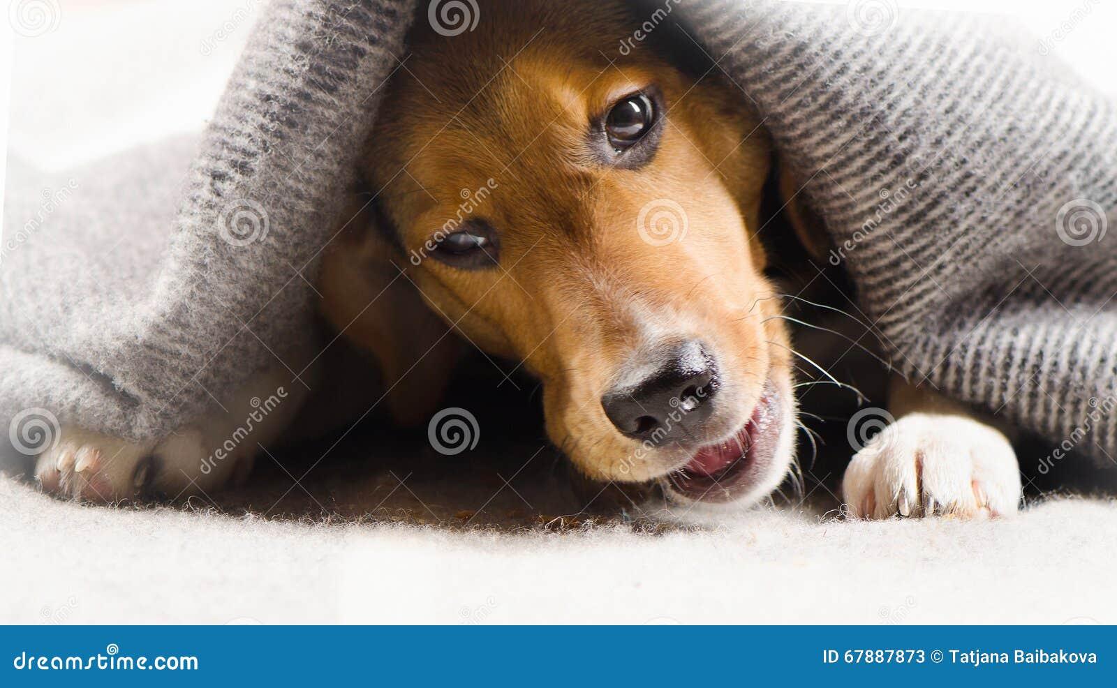 小猎犬逗人喜爱的小狗