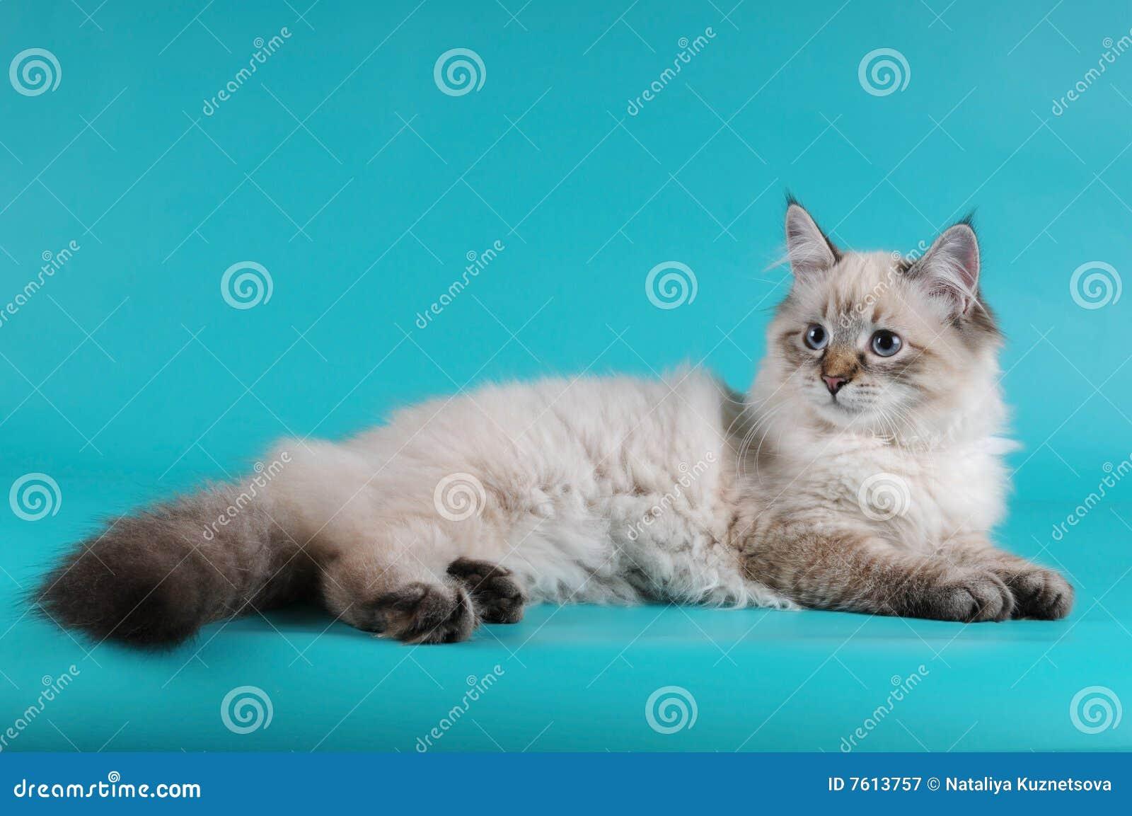 小猫位于的西伯利亚人