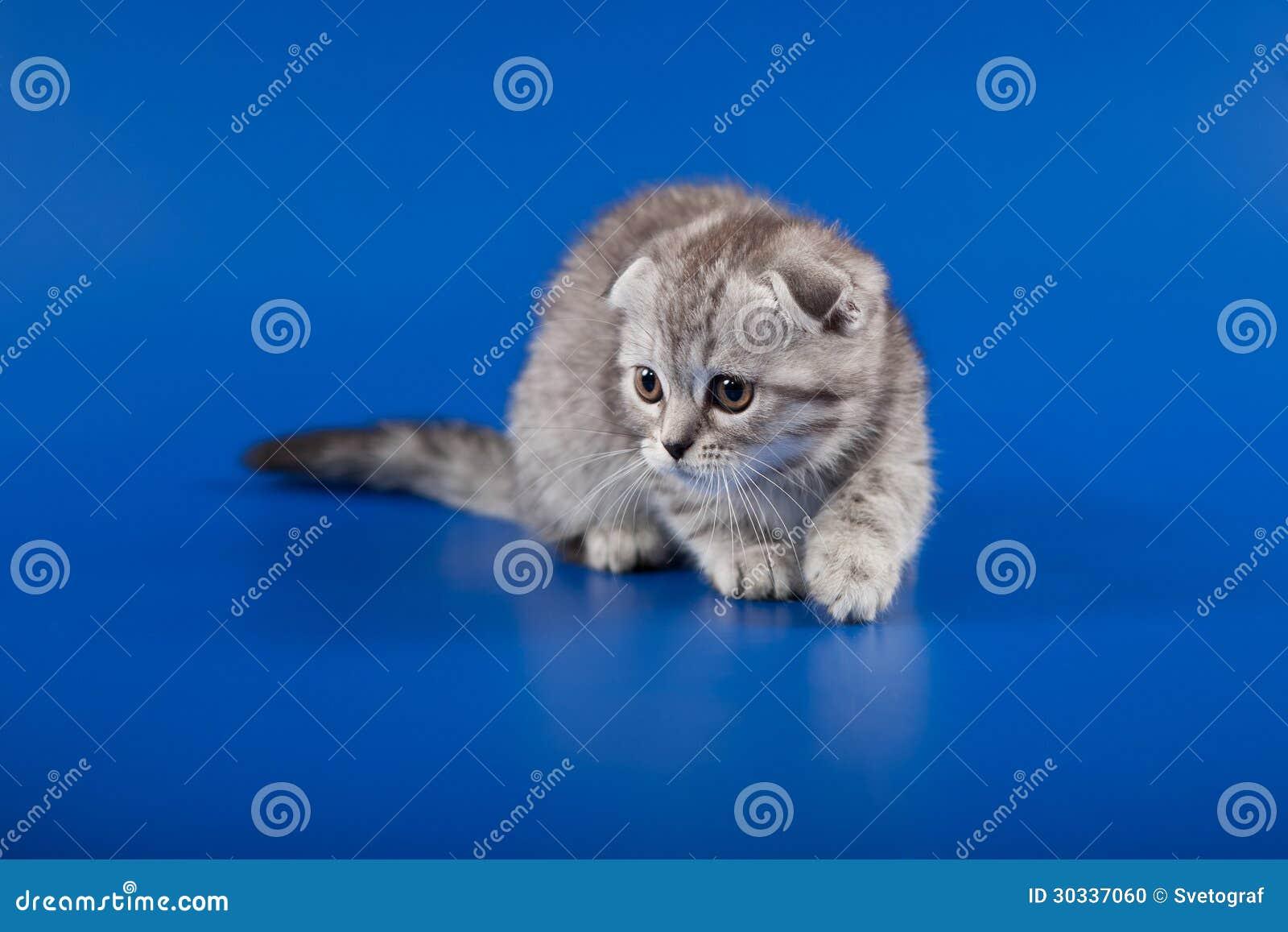 小猫苏格兰人折叠品种