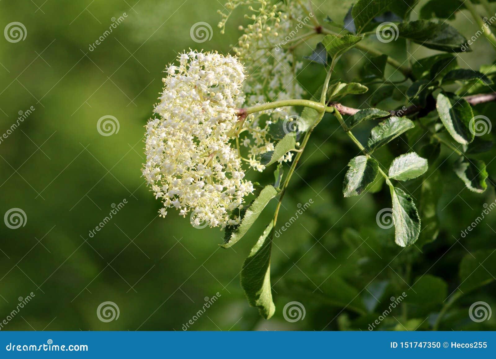 小白花接骨木浆果或接骨木花或者更旧的树大群围拢与分支和叶子在地方庭院里