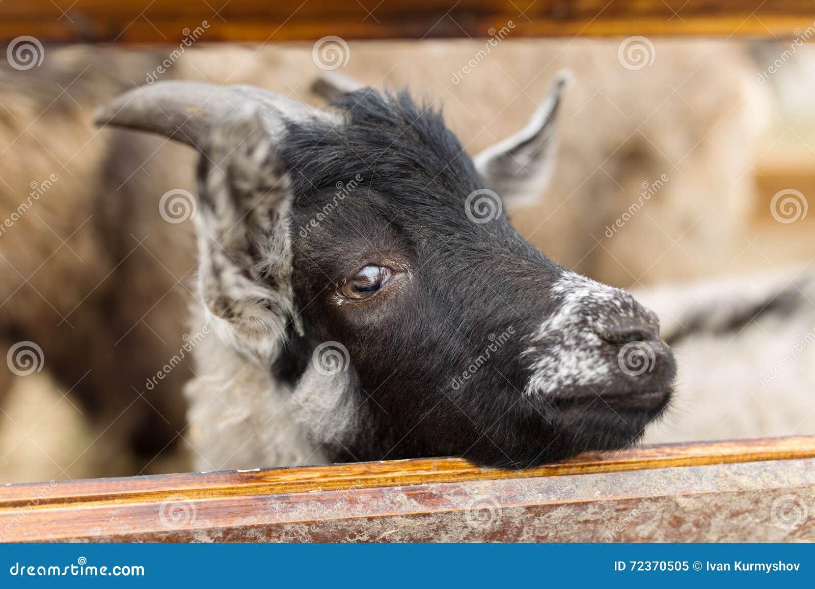 小的山羊画象