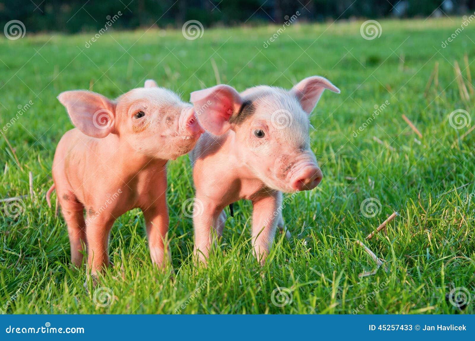 小的猪二图片
