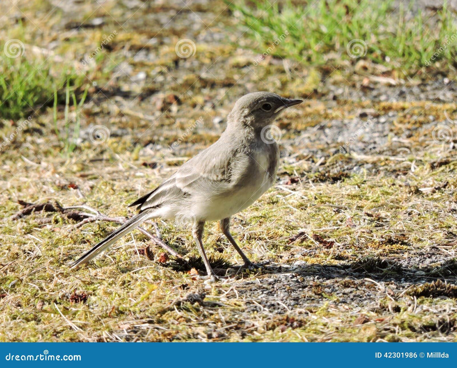 小的令科之鸟鸟