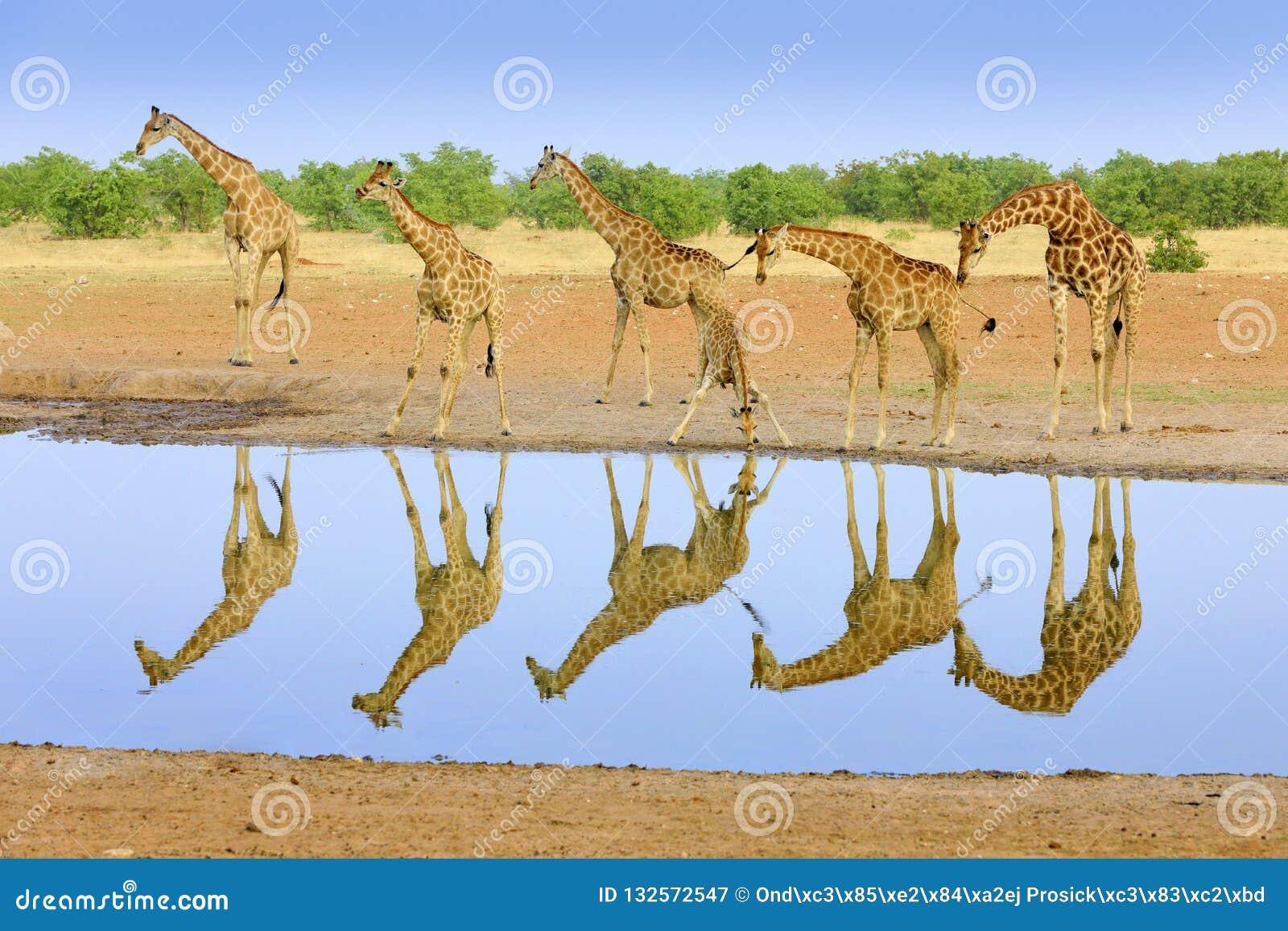 小组在水坑附近的长颈鹿,镜象反射在寂静的水中,Etosha NP,纳米比亚,非洲 在的很多长颈鹿