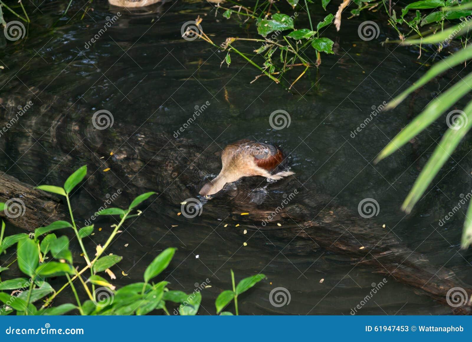 小野鸭游泳在池塘