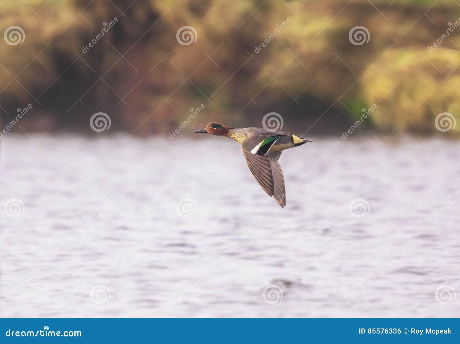 小野鸭鸭子