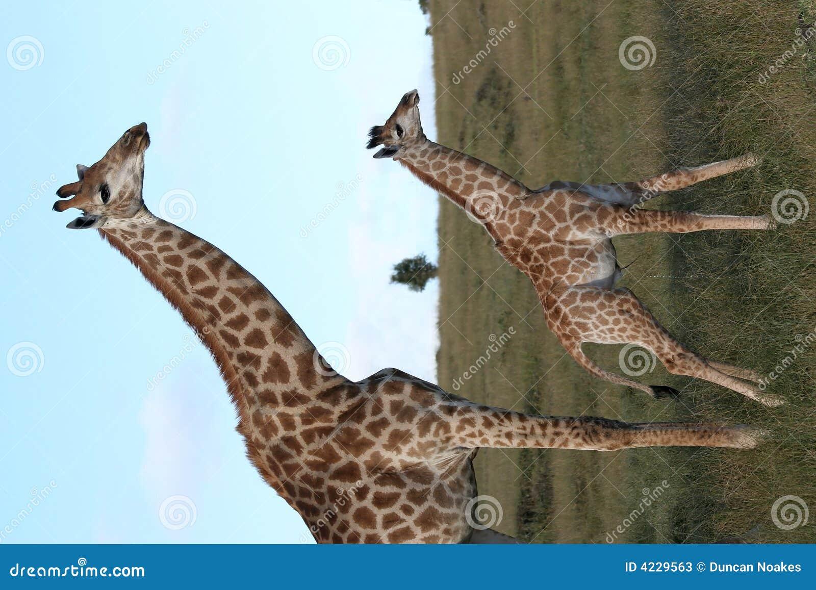 小长颈鹿妈妈