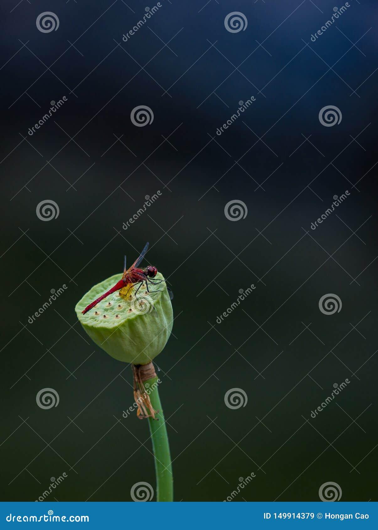小雷德河蜻蜓