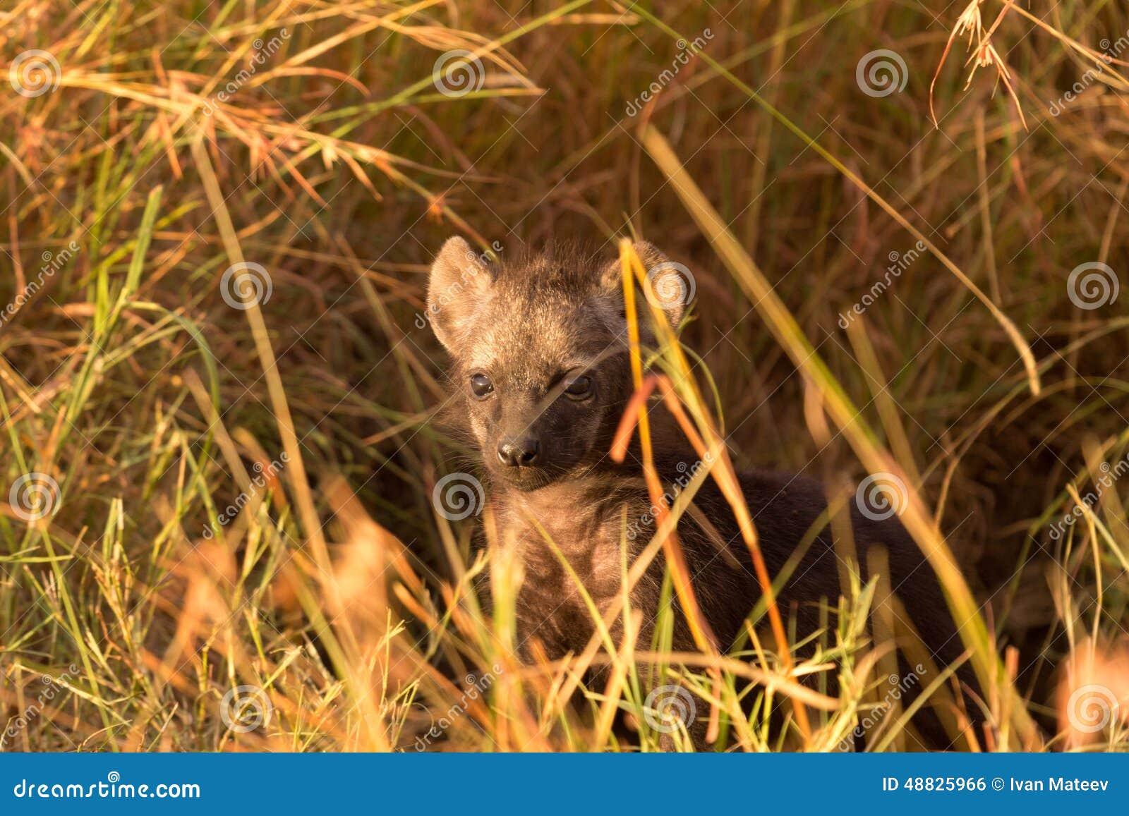 小鬣狗,马塞语玛拉