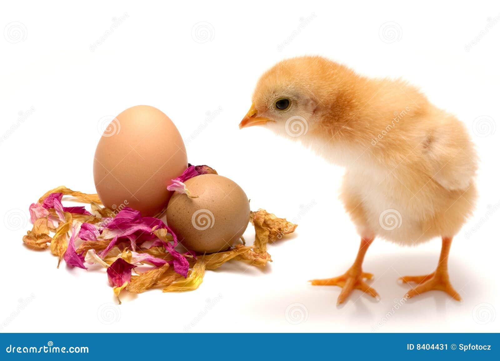 小鸡概念复活节年轻人