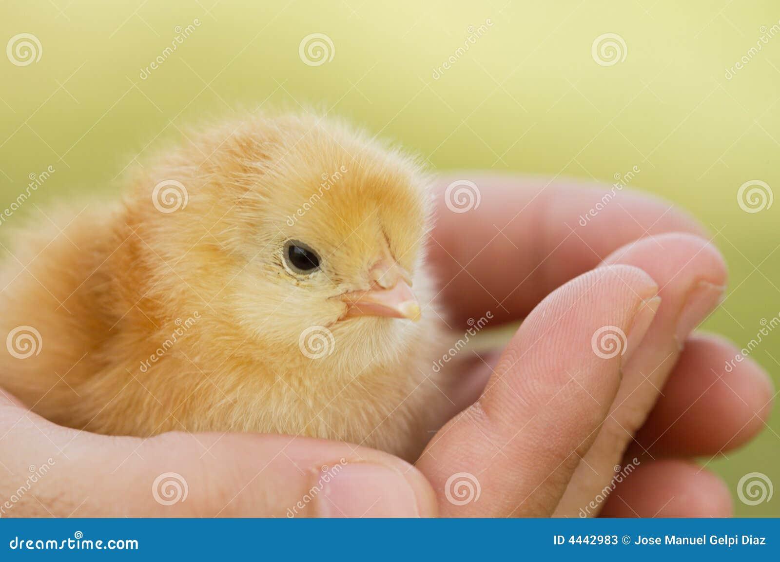 小鸡的现有量
