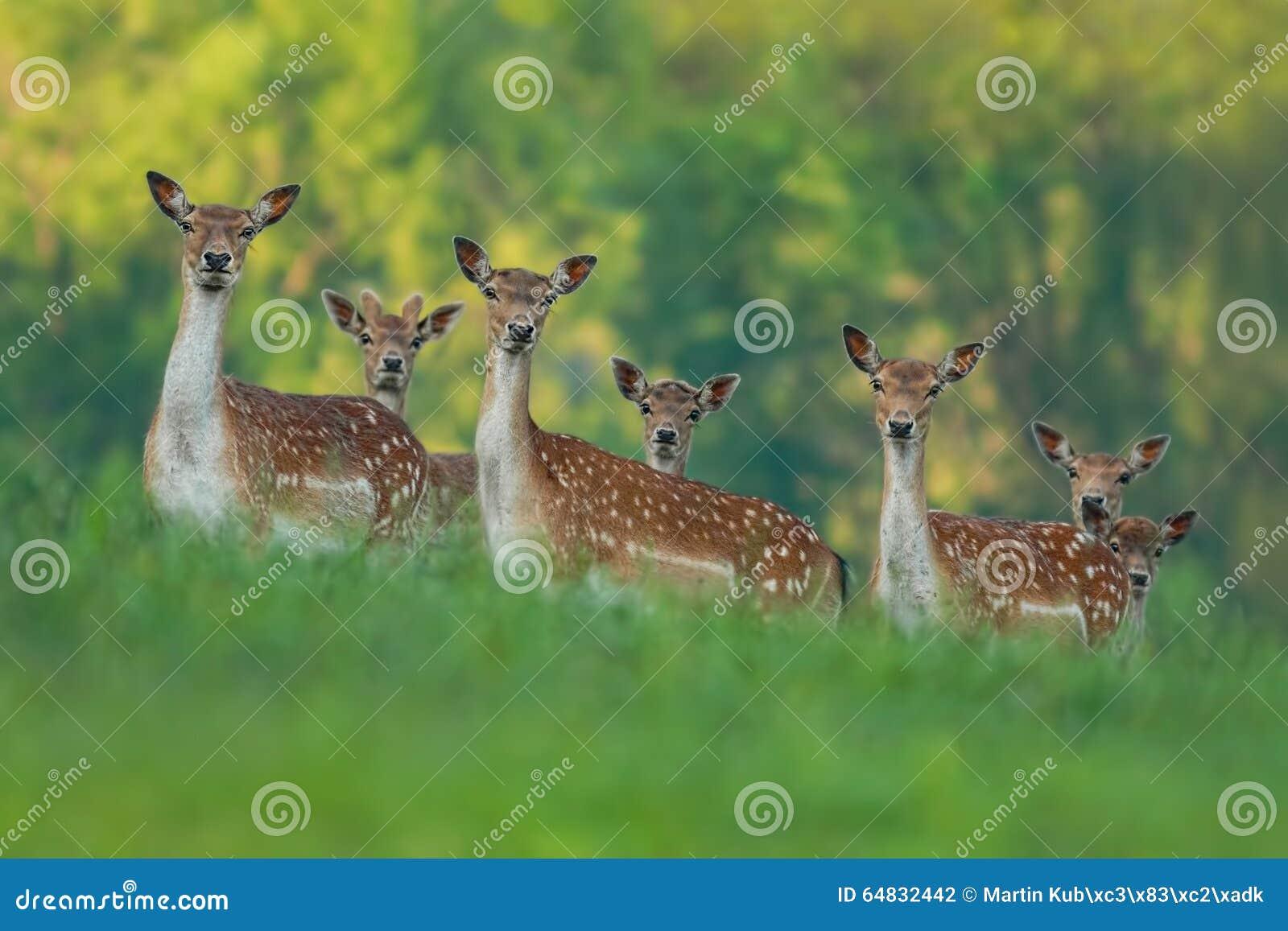 小鹿家庭-母鹿和小鹿婴孩